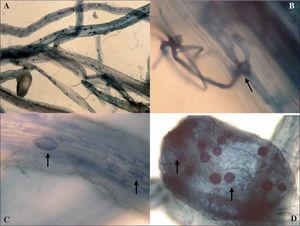 A. Raíces micorrizadas de alfalfa con nódulo teñidas con azul de Tripán (100X). B. Apresorio de MA (1000X). C. Vesículas y arbúsculos (100X). D. Nódulos con esporas y micelio en su interior (400X).