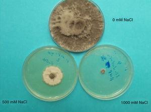Aislamientos de Macrophomina phaseolina. Cultivados a 3 diferentes concentraciones de NaCl. A 0mM, el crecimiento es normal, a 500mM, disminuye y a 1000mM, es mínimo.