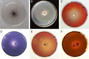 Selected positive reactions of qualitative assays. (A) Laccase (G. argentinum). (B) Lipase (G. plicatum). (C) Cellulase (G. morganii). (D) Lignin peroxidase (G. papinuttii). (E) Cellulase (G. argentinum). (F) Xilanase (G. papinuttii).