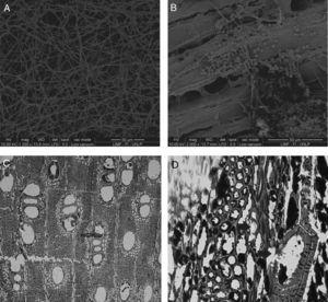 Microscopy of deteriorated wood samples. Panel A: scanning electron microscopy (SEM) images of ultra slim cut of dark area observed in RX and CT, dense presence of hyphae. Panel B: SEM image of ultra slim cut of gray zone where microstructure loss and the presence of spores are observed. Panel C: Optical microscopy (OM) images of the dark area observed in RX and CT: altered wood appeared compartmentalized by dark secretions deposited in axial/radial parenchyma and in vessel and cell lumina. Panel D: OM images where generalized cell wall erosion is evident (arrowheads holes in vessel elements and erosion of wood cell walls are observed.