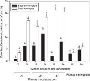 Porcentaje de colonización de plantas de P. greggii inoculadas con tres hongos comestibles ectomicorrícicos, a los 12 y 24 meses del trasplante a contenedores de 5 l. Hl=H. leucosarx; Lb=L. bicolor y Ll=L. laccata. Barras con la misma letra para cada fecha en cada tratamiento, son iguales de acuerdo con el test de Tukey (p ≤ 0,05). Los valores son promedios±error estándar de la media (n=3).