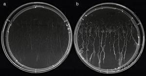 Plántulas de Arabidopsis thaliana ecotipo Col-0 de 13 días crecidas en placas con Hoagland agarizado (1% sacarosa) sin kanamicina. a) Sin inocular. b) Inoculadas con 5μl de una suspensión celular (1×106UFC/semilla) de A. brasilense Az39 marcado con GFP, aplicada en forma de punto a los 6 días. Imagen capturada con cámara Sony Cyber-shot bajo luz UV.