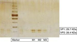 12.5% Polyacrylamide gel of the three samples separated electrophoretically stained with Pierce® Silver Stain Kit. Viral proteins VP1 (29.7kDa) and VP2 (28.4kDa) were indicated. Marker: Color Plus Protein Ladder Prestained (New England BioLabs).