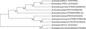 Phylogenetic tree based on nodC gene sequences, which shows Burkholderia species associated with leguminous plants.