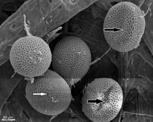 "SEM observations of T. canis eggs + C. indicum incubated for 14 days. Egg deformation due to ""consumption or utilization"" of the embryo (black arrow) and alterations in the shell structure (white arrow) (500×)."