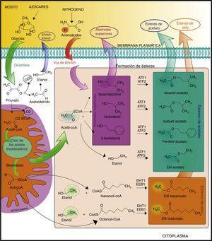Esquema de las principales rutas metabólicas involucradas en la síntesis de ésteres dentro de las levaduras.