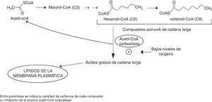 Biosíntesis de ácidos grasos y su relación con la formación de ésteres de etilo.