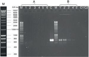 RT-PCR amplification of TBTB permease mRNA from S. chelatiphaga HS2 grown on fructose (A) or TBT (B). M lanes contain the molecular size marker Hyperladder 1 (Bioline). cDNA generated from 1μg template RNA was serially diluted (3.2-fold) with nuclease-free water, and 1μl of each dilution was subjected to amplification by PCR (lanes 1 to 6) for cDNA from fructose and (lanes 1′ to 5′) for cDNA from TBT. Negative controls included undiluted RT-PCR mixtures devoid of reverse transcriptase (lane C1′) or template cDNA (lane C2′). PCR mixtures containing 1ng of genomic DNA as a template were used as positive control (lane C) in the same experiment.