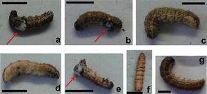Symptoms shown by S. frugiperda larvae infected with SfGV ARG at different times post infection and with different doses: 17 dpi, 1 × 104 OB/ml (A); 12 dpi, 1 × 106 OB/ml (B); 21 dpi, 1 × 104 OB/ml (C); 14 dpi, 1 × 108 OB/ml (D); 14 dpi, 1 × 108 OB/ml (E); 28 dpi, 1 × 109 OB/ml (F); 14 dpi, uninfected control. dpi: days post infection. Black bar: 0.5cm. Red arrows indicate injuries in the last abdominal segments.