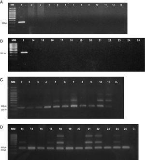 A y B) Electroforesis en gel de agarosa 1% de los productos de amplificación con los cebadores TP5, específicos para la cepa Az39. C y D) Electroforesis en gel de agarosa 1% de los productos de amplificación con los cebadores 16S rRNA específicos de género (Lin et al., 2011) utilizados como control positivo para las cepas Azospirillum spp. Referencias: (MM) marcador de peso molecular 100bp Trans Plus ADN Ladder; (1) A. brasilense Az39; (2) A. brasilense Sp245; (3) A. brasilense FP2; (4) A. brasilense Abv5; (5) A. brasilense Abv6; (6) A. brasilense Az 19; (7) A. brasilense Az 36; (8) A. brasilense Az 45; (9) A. brasilense Az 48; (10) A. brasilense Az 63; (11) A. brasilense Az 65; (12) Pseudomonas protegens CHA0; (13) Bradyrhizobium japonicum E109; (14) A. formosense CC-Nfb-7; (15) A. fermentarium CC-LY743; (16) A. halopraeferens Au4; (17) A. oryzae COC8; (18) A. palatum WW10; (19) A. melinis TMYC 0552; (20) A. lipoferum Sp59b; (21) A. canadense DS2; (22) A. rugosum IMMIB AFH-6; (23) A. agrícola CC-HIH038; (24) A. soli CC-Ly788; (25) A. zeae N7; (C-) control negativo (agua).