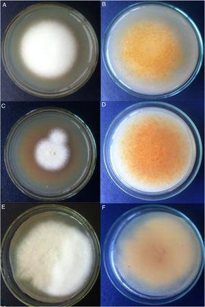 A y B) Cepa algodonosa. C y D) Cepa granular. E y F) Cepa mixta. Colonias en lactrimel, luego de 14 días de incubación en la oscuridad. Imagen A, C y E, anverso; B, D y F, reverso.