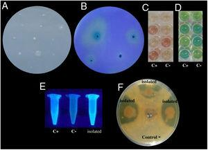 Examples of in vitro detection of plant growth promoting-bacteria and antagonistic characteristics. (A) Nitrogen fixation of different isolates; bacterial growth is indicative of nitrogen fixation. (B) Phosphate solubilization of several isolates; a clear halo around the colonies indicates the precipitation of phosphate. (C) Indoleacetic acid (IAA) production; the bottom wells contain the positive control (C+) A. vinelandii, and the negative control (C−) Salmonella Enteritidis, and the other wells contain the isolates. (D) Gibberellin detection; the bottom wells contain the C+, A. vinelandii, and C−, S. Enteritidis, and the other wells contain the isolates. (E) Siderophore detection; the C+ P. fluorescens is in the leftmost microtube, the C− S. aureus in the center, and the isolates on the right. (F) Antagonistic activity of different isolates (top, right, and left) against Fusarium sp., and the negative control (bottom).