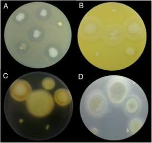 Examples of lytic enzyme production. (A) In skim milk medium, protease synthesis was indicated by a clear halo around the bacterial colony. (B) In egg lectin medium, lipase activity was indicated by a cloudy halo around the bacterial colony. (C) In the starch medium, amylase activity was indicated by a yellow halo around the bacterial colony. (D) In cholesteryl oleate and calcium chloride medium, esterase synthesis was indicated by a gray halo around the bacterial colony.