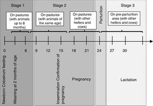 Production management within the dairy herd. The different stages that the animals go through in a production cycle are shown, from birth to 3 years of age.