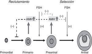 Sitios de unión de la AMH en la foliculogénesis. Adaptado de Visser et al.16.