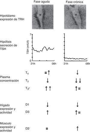 Cambios en el eje tiroideo central y periférico en la fase aguda vs la fase crónica de la enfermedad crítica. Adaptado de Van den Berghe11.