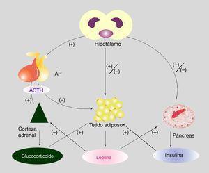 Esquema de los mecanismos mediante los cuales interacciona el eje hipotálamo-hipofisocorticoadrenal y el eje adipoinsular. (+): estimulación&#59; (-): inhibición. Fuente: Adaptado de Pagano et al. Neuroendocrinology. 2017&#59;104:347-363.