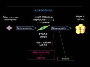 Etapas involucradas en el proceso adipogénico a nivel de la fracción estroma-vascular residente en el tejido adiposo. Fuente: Adaptado de Pagano et al. Neuroendocrinology. 2017&#59;104:347-363.