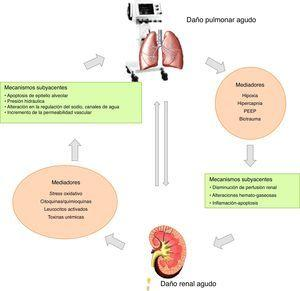 Interacciones pulmón-riñón durante el daño pulmonar agudo. El daño renal agudo induce efectos a distancia sobre el pulmón, vía celular y mediadores solubles. El daño pulmonar agudo, sucesivamente, facilita la exacerbación de la disfunción renal vía metabólica y trastornos bioquímicos.