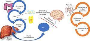 Fisiopatología de la encefalopatía hepática. El amoniaco (NH3) está compuesto por nitrógeno e hidrógeno y es derivado principalmente del metabolismo proteico. En circunstancias normales el NH3 es convertido en urea para ser eliminado por los riñones y músculo-esquelético. Paralelamente, un cuarto de la urea producida del ciclo de la urea es enviada al intestino, donde es convertida en NH3 especialmente por la acción de la enzima glutaminasa ubicada en los enterocitos del intestino delgado y el colon, así como por la acción de la gran cantidad de bacterias productoras de ureasa que son parte de la microbiota intestinal. En el contexto de insuficiencia hepática, como es el caso de los pacientes con cirrosis hepática, el proceso del metabolismo del NH3 se ve interrumpido dando como resultado el incremento del NH3. Adicionalmente, los shunts portosistémicos pueden ayudar al incremento circulante del NH3 el cual atraviesa la barrera hematoencefálica y se metaboliza en los astrocitos por la glutamina sintetasa, que convierte el NH3 y el glutamato en glutamina. La acumulación de glutamina en los astrocitos crea un gradiente osmótico, lo que resulta en la inflamación de los astrocitos y la generación de especies reactivas de oxígeno. Estudios de imagen han demostrado edema cerebral incluso en pacientes con encefalopatía hepática mínima, el cual se relaciona con deterioro cognitivo.