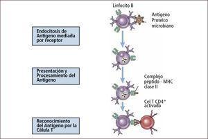 Reconocimiento y presentación de antígeno por linfocito B Traducido: Elsevier. Abbas et al: cellular and Molecular Inmunology 6e - www.studentconsult.com
