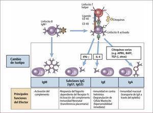 Respuesta inmune humoral Traducido de: Elsevier. Abbas et al: cellular and Molecular Inmunology 6e - www.studentconsult.com