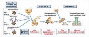 Vías de activación del complemento Traducido de: Elsevier. Abbas et al: cellular and Molecular Inmunology 6e - www.studentconsult.com