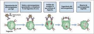 Opsonización y fagocitosis Traducido de: Elsevier. Abbas et al: cellular and Molecular Inmunology 6e - www.studentconsult.com