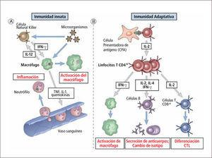 Rol de citoquinas en inmunidad innata y adquirida Traducido de: Elsevier. Abbas et al: cellular and Molecular Inmunology 6e - www.studentconsult.com