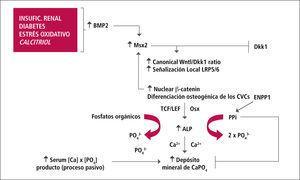Regulación osteogénica de la calcificación vascular
