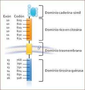 Esquema simplificado de ret y ubicación de las mutaciones más frecuentes