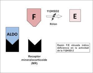 Actividad de 11β-hidroxiesteroide deshidrogenasa tipo 2 (11β-HSD2). La enzima 11β-HSD2 es la encargada de inactivar el cortisol (F) en cortisona (E) y con ello impedir que active el receptor de mineralocorticoides. Cuando existe un déficit de esta enzima, el cortisol no es inactivado y puede unirse libremente al receptor de mineralocorticoides, activándolo.