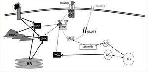 Eventos celulares que interfieren en la señalización insulínica La insulina (triángulo) se une a su receptor de membrana, gatillando la fosforilación del mismo receptor y proteínas post-receptor (ej. sustrato del receptor de insulina 1 [IRS1], Akt, etc.). Esto determina la migración del transportador de glucosa 4 (GLUT4) a la membrana, lo que facilita la captación de glucosa. En un proceso inflamatorio, los mediadores inflamatorios se unen a su receptor de membrana activando (línea negra continua) a proteínas quinasas (ej. IKK y JNK). Estas proteínas inhiben a IRS1 (líneas punteadas) reduciendo la señalización insulínica. Asimismo, las especies reactivas del oxígeno (EROs) y el estrés del retículo endoplásmico (ER) estimulan a IKK y JNK. Lípidos específicos también interfieren en la señalización insulínica al activar la proteína kinasa C (por diglicéridos), la cual inhibe a IRS1, o reducir la actividad de Akt (por ceramidas).