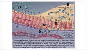 Patogenia de la infección por Clostridium difficile