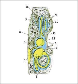 DIAGRAMA DEL LABERINTO MEMBRANOSO Laberinto membranoso (contiene endolinfa) en amarillo. Perilinfa en azul. 1. Estribo (en la ventana redonda). 2. Utrículo. 3. Canales semicirculares. 4. Saco endolinfático. 5. Ducto utrículosacular. 6. Duramadre. 7. Acueducto teclear. 8. Escala timpánica (Scala tympani). 9. Escala vestibular (Scala vestibuli). 10. Ducto coclear. 11. Ductus reuniens. 12. Sáculo.