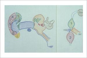 Verde: 1° Arco branquial. Rojo: 2° Arco Branquial. Azul: 1° Hendidura Branquial. Naranja: Bolsa faríngea. Marrón: Otocisto Neural