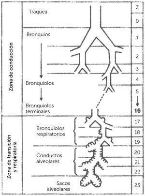 BRONQUIOS - BRONQUIOLOS Fisiología respiratoria 9a edición. John B, West MD, PhD, DSC. 2012.