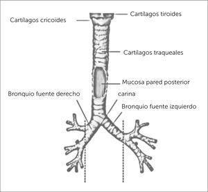 TRÁQUEA Atlas de anatomía humana 6a edición. Frank H. Netter, MD. Copyright 2014 by Saunders, an imprint of Elsevier Inc.