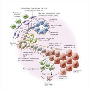 REGENERACIÓN HEPÁTICA Y BILIAR La regeneración hepática y biliar está dada por la activación de diferentes vías de activación. Por un lado, la interacción entre células progenitoras hepáticas (CPH) y Notch2 producen diferenciación y regeneración biliar. Por el otro, las CPH expuestas a Wnt, el cual es liberado por macrófagos, promueve la diferenciación y regeneración hepatocelular 22. * Figura adaptada de Boulter L et a, J Clin Invest 2013; 123:1867-73 22.