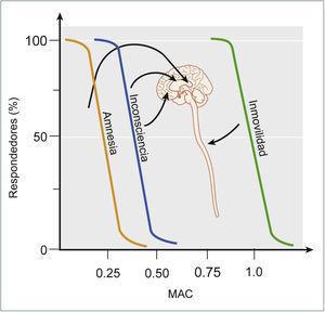 EFECTOS CLÍNICOS Y SITIOS DE ACCIÓN QUE SUBYACEN EL EFECTO DE LOS ANESTÉSICOS INHALATORIOS La amnesia es el efecto más sensible y es secundaria al efecto de los anestésicos sobre el hipocampo, amígdala, entre otras estructuras. La inconsciencia requiere una mayor dosis y se obtiene por la acción de los anestésicos sobre la corteza, tálamo y estructuras subcorticales. La inmovilidad ocurre por la acción de los anestésicos sobre la médula espinal y requiere una dosis significativamente mayor en relación a los otros efectos. Tomado y modificado de Miller's Anesthesia, Eigth Edition, (2015).