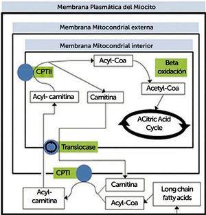 Resumen de proceso metabólico de transporte y oxidación de ácidos grasos. CPT, carnitina palmitotransferasa La oxidación de ácidos grasos ocurre en la mitocondria. Los ácidos grasos de cadena media y corta pueden entrar a la mitocondria directamente, pero no los de cadena larga (entre 14 y 20 carbonos), ya que la membrana interna de la mitocondria es impermeable, por lo que deben unirse a una molécula de carnitina. Por otro lado, la beta-oxidación, en la matriz mitocondrial, consiste una serie de reacciones que finalmente se traducen en producción de una molécula de acetil-CoA, el que ingresa al ciclo de Krebs uniéndose a oxaloacetato para formar citrato. (Traducido de: Lilleker JB, Keh YS, Roncaroli F, et al. Pract Neurol 2018&#59;18:14–265).