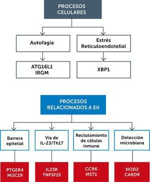 Procesos celulares y vías inmunológicas involucradas en EII Junto a cada proceso se muestran grupos de genes implicados. Adaptado de Hamilton, Matthew J., et al.50.