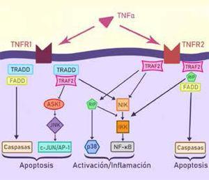 Cascada inflamatoria intracelular activada por TNFα.