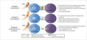 Características del antígeno en la vacuna determinan la inmunidad subsecuente y su duración Las características del antígeno de una vacuna determinan los niveles y duración subsecuentes de la inmunidad. Se muestra un posible antígeno proteico multivalente, comparándolo con un antígeno proteico monovalente y con uno no proteico. En el ejemplo, los clones de células B toman el antígeno de las células dendríticas foliculares (FDC), el que luego es procesado (sólo los antígenos proteicos) y presentado a la célula T helper folicular (THP). Existe evidencia que indica que las interacciones multivalentes aumentan el agrupamiento del receptor de la célula B (BCR) y mejoran la habilidad de estas células para tomar el antígeno desde las células presentadoras. Esta interacción multivalente también estabiliza el complejo antígeno-receptor B y aumenta los complejos MHC II cargados de péptidos2. Figure 1 is taken/adapted from Vetter V et al., Annals of Medicine, 50(2): 110-120, 2018.