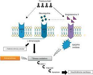 Interação dos mecanismos cardiotóxicos das antraciclinas com os do trastuzumab.