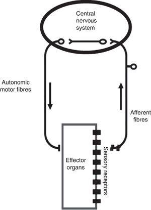 The autonomic reflex arc. The morphological relations between its different components are shown. The autonomic motor fibers include sympathetic, parasympathetic and enteric fibers. Adapted from Rocha.106