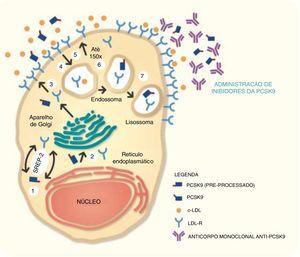 Mecanismo de ação dos inibidores da PCSK9.