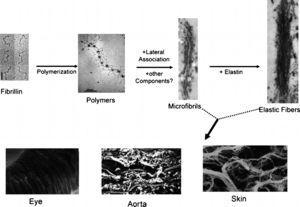 Representação esquemática das principais etapas subjacentes à formação das microfibrilas e fibras elásticas, presentes, por exemplo, no olho, artéria aorta e pele. Adaptado de Fibrillin microfibrils: multipurpose extracellular networks in organismal physiology, Ramirez F, Sakai LY, Dietz HC, et al., Physiol Genomics, 19(2): 151‐4, 2004.