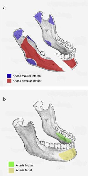 Aporte vascular de la mandíbula36.