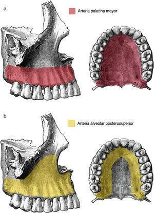 Vascularización del maxilar superior. Imagen redibujada de la referencia bibliográfica 36.